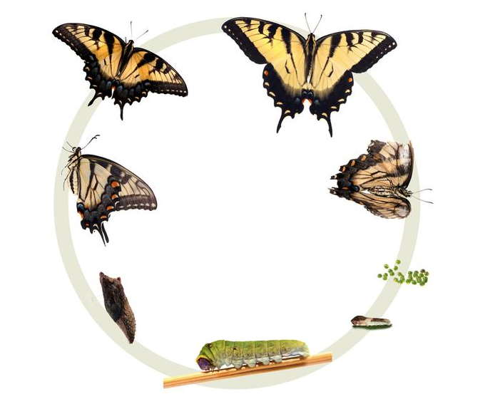Lifecycle of the Eastern Tiger Swallowtail Butterfly